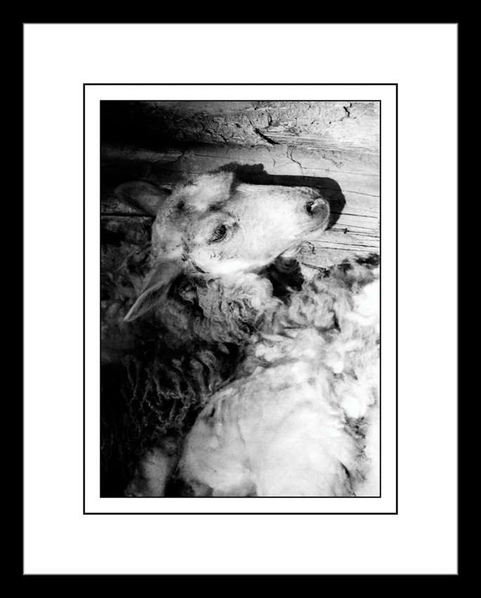 68 - Ovce II